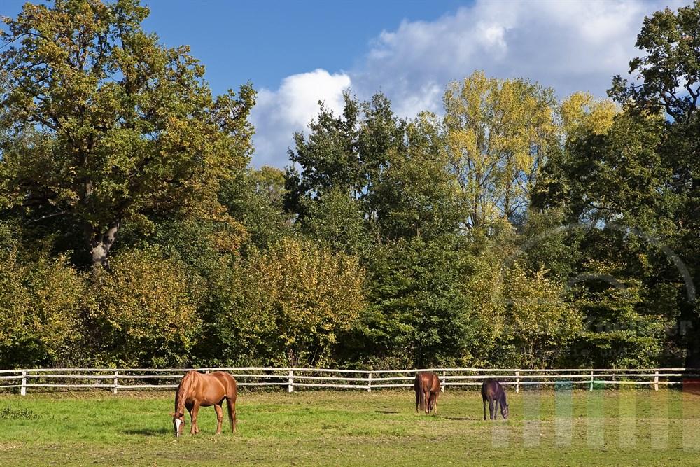 Reitpferde grasen auf einer Weide, an deren Rand sich die Bäume herbstlich verfärbt haben. Sonnig