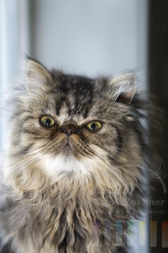 Portrait: Perser-Kater
