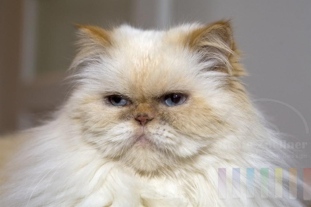 Portrait: hellhaarige Perser-Katze mit blauen Augen