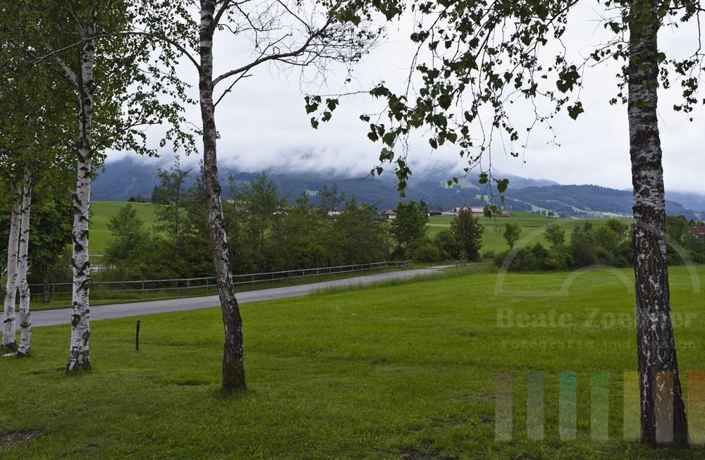 Birken stehen am Rand einer Wiese im Ostallgäu Nähe Nesselwang. Dichte Regenwolken verhindern den Blick auf die nahen Berge