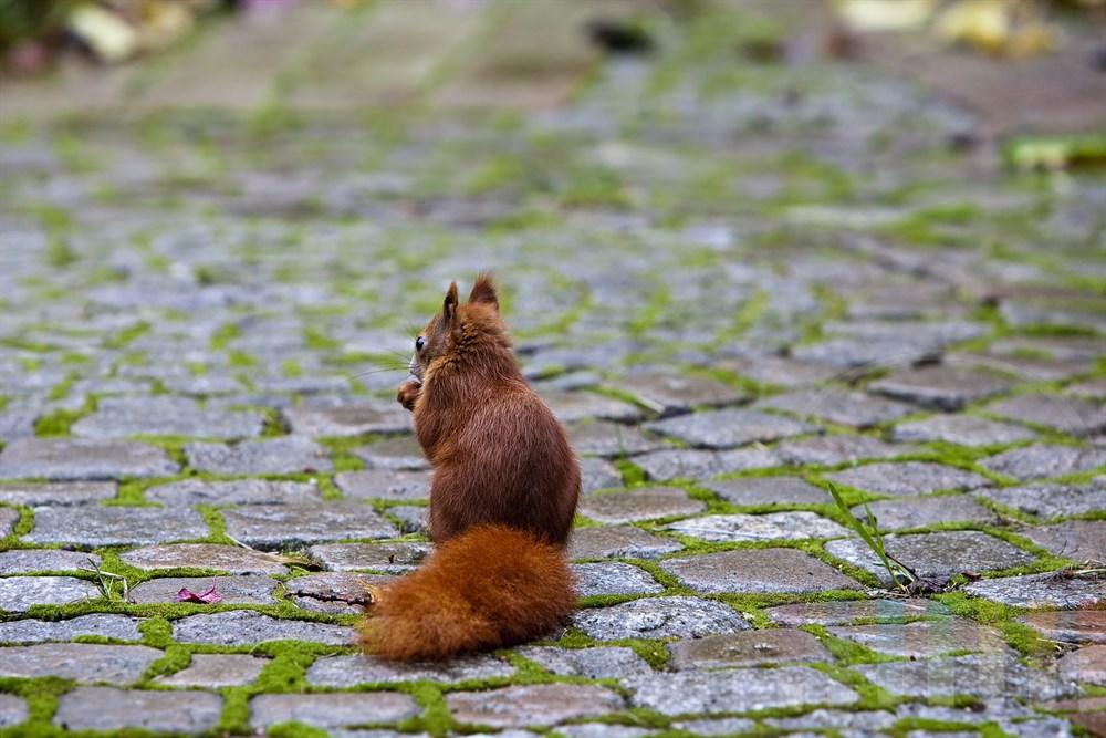 Eichhörnchen sitzt auf Kopfsteinpflaster in einem Garten und schaut sich um