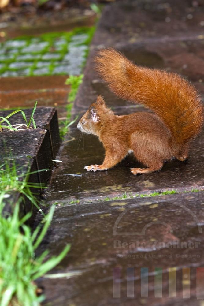 so ganz behaglich fand Sweetie das nass-kalte Regenwetter am Tag ihrer Auswilderung nicht