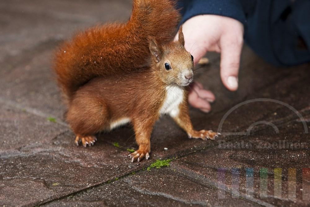 Frauenhand streichelt zahmes Eichhörnchen (Handaufzucht)