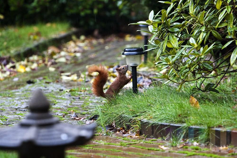 """""""Sweetie"""" auf Erkundungstour im Garten. Wenig später war das kleine Eichhörnchen verschwunden..."""