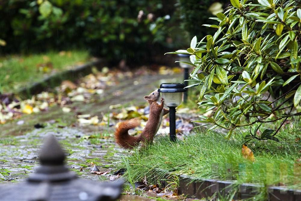 Sweetie auf Erkundungstour im Garten. Wenig später war das kleine Eichhörnchen aus dem Blickfeld verschwunden... Machs gut, kleiner Fratz und pass gut auf Dich auf!