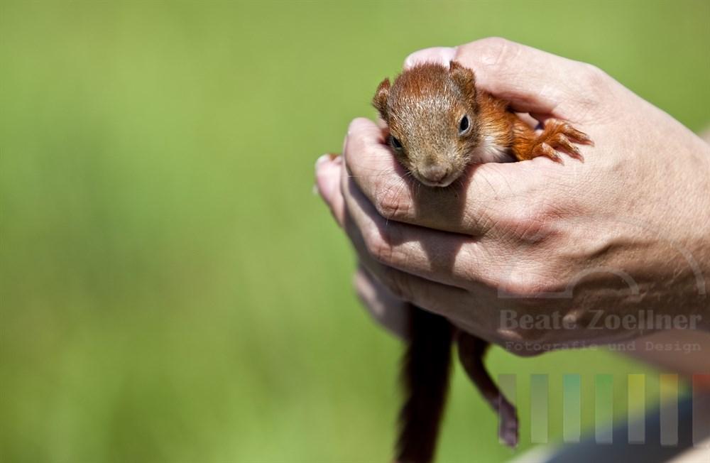 Zwei Männerhände halten ein fünf Wochen junges Eichhönchen
