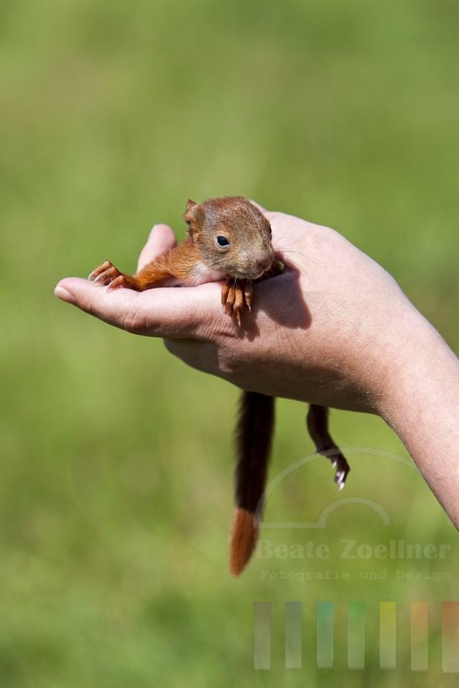 ca. 5 Wochen altes Eichhoernchen-Junges sitzt auf einer menschlichen Hand. Das Tierchen wird von Menschenhand groß gezogen