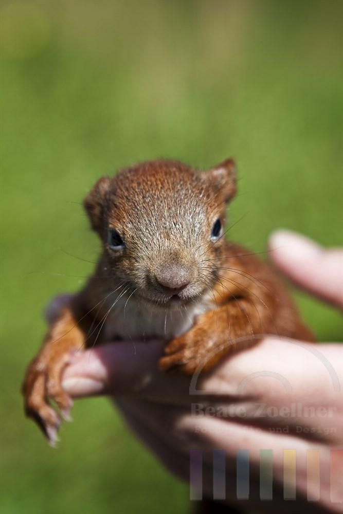 ca. 5 Wochen altes Eichhoernchen-Junges auf der Hand eines Menschen, der die Aufzucht des Wildtieres übernommen hat
