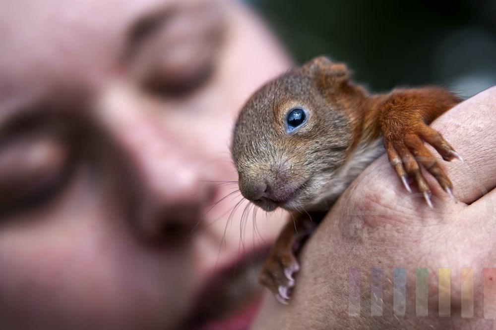 ca. 5 Wochen altes Eichhoernchen-Junges auf der Hand einer Frau