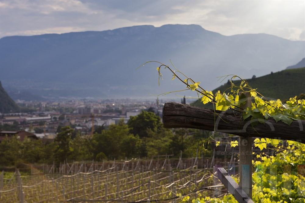 Weinberg und Weinranken oberhalb der Stadt Bozen im abendlichen Sonnenlicht am Gebirgszug Ritten