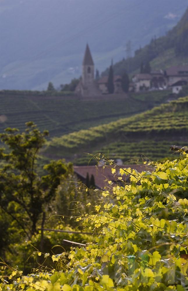 Die Abendsonne scheint auf die Weinstöcke im sommerlichen Laub am Ritten oberhalb von Bozen