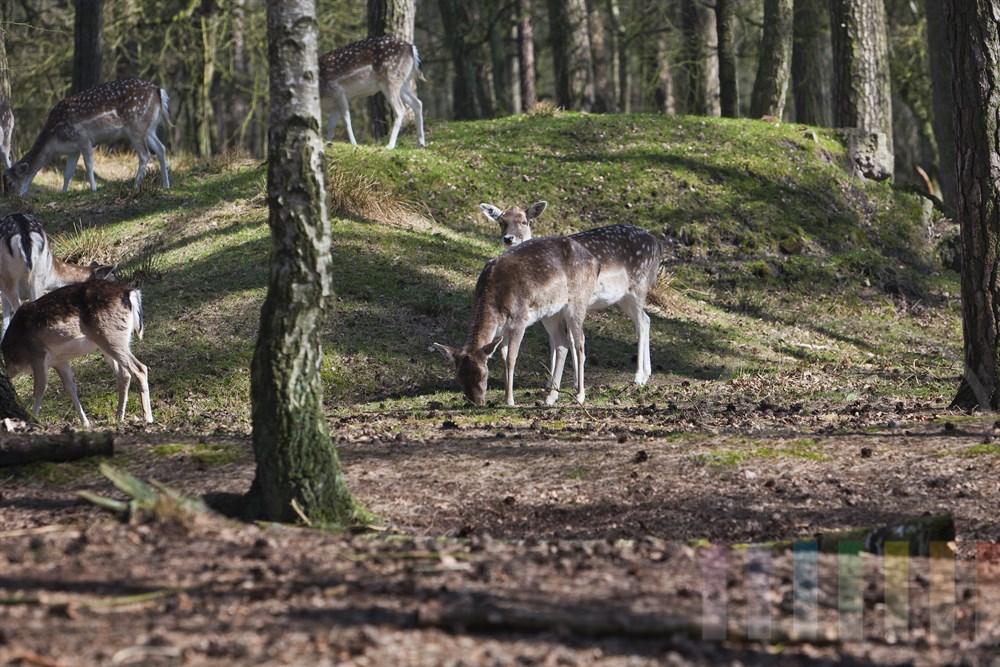 Aesendes Damwildrudel im Wildgehege (Kloevensteen, Hamburg-Rissen), sonnig
