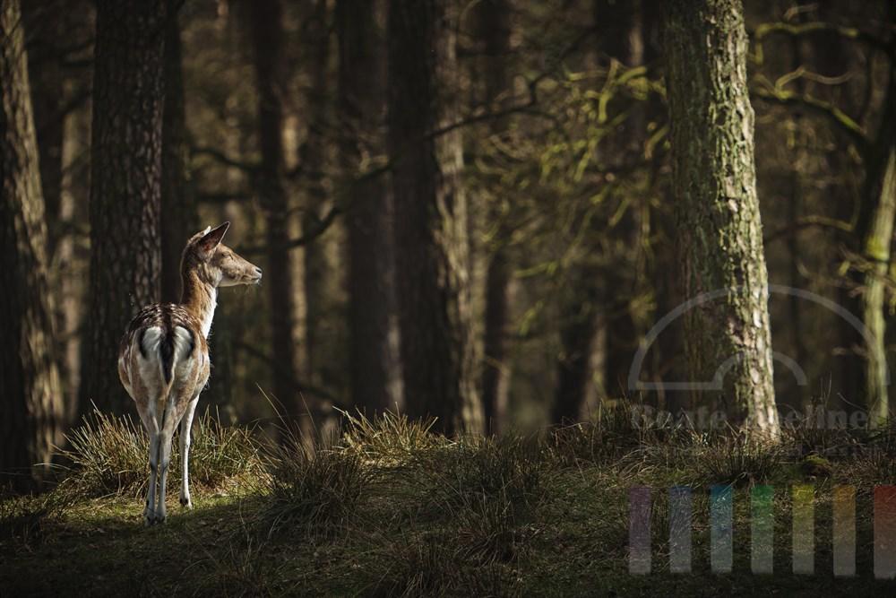 Damwild-Kuh steht im Wald und blinzelt in das Licht der Fruehlingssonne