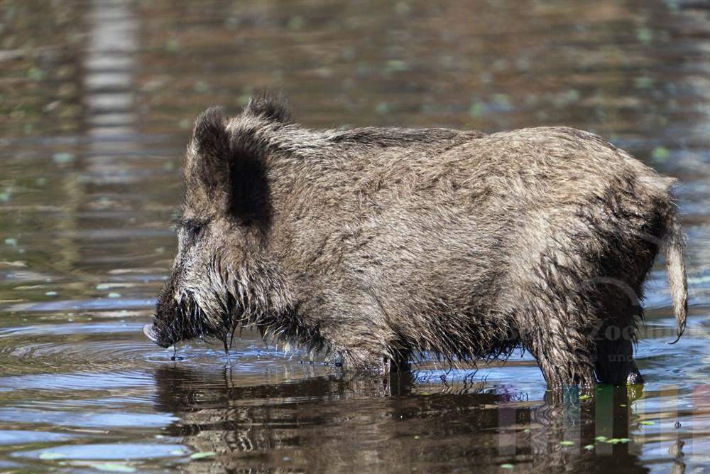 Wildschwein steht in einem Teich