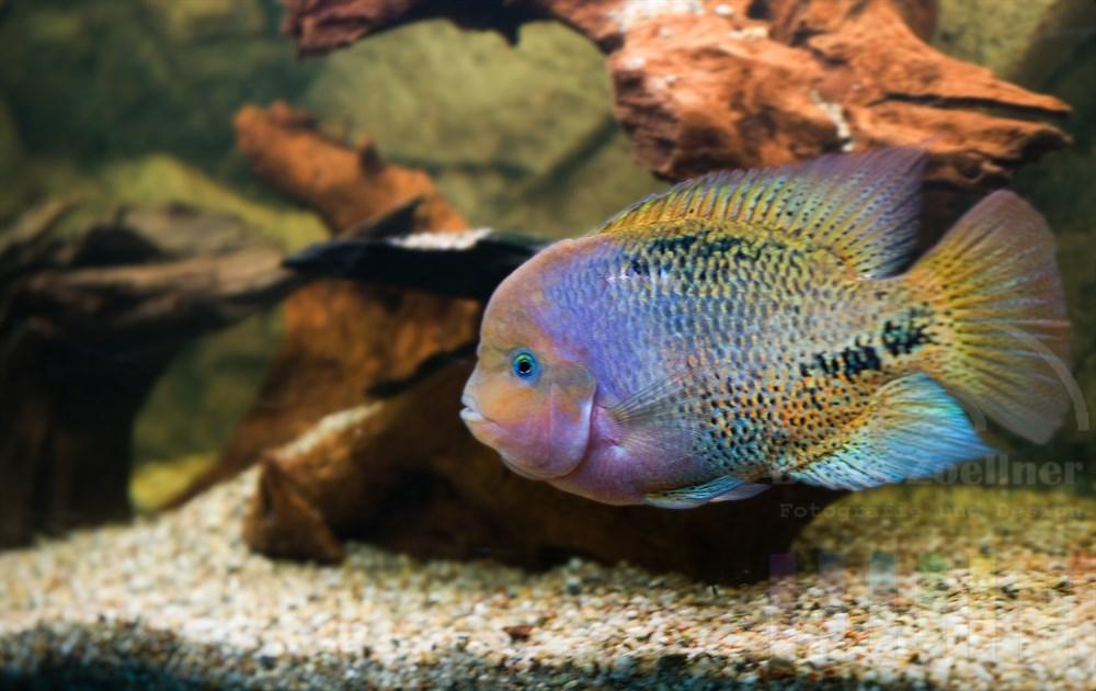 Quetzalbuntbarsch (Vieja synspilum) schwimmt in einem Aquarium. Der Fisch stammt ursprünglich aus Süd- und Mittelamerkia