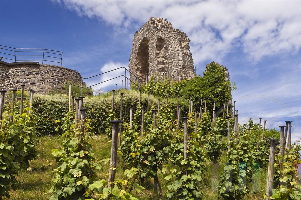 Weinanbau unterhalb des Rolandsbogens, einer Burgruine ueber dem Rhein bei Remagen-Rolandswerth, sonnig