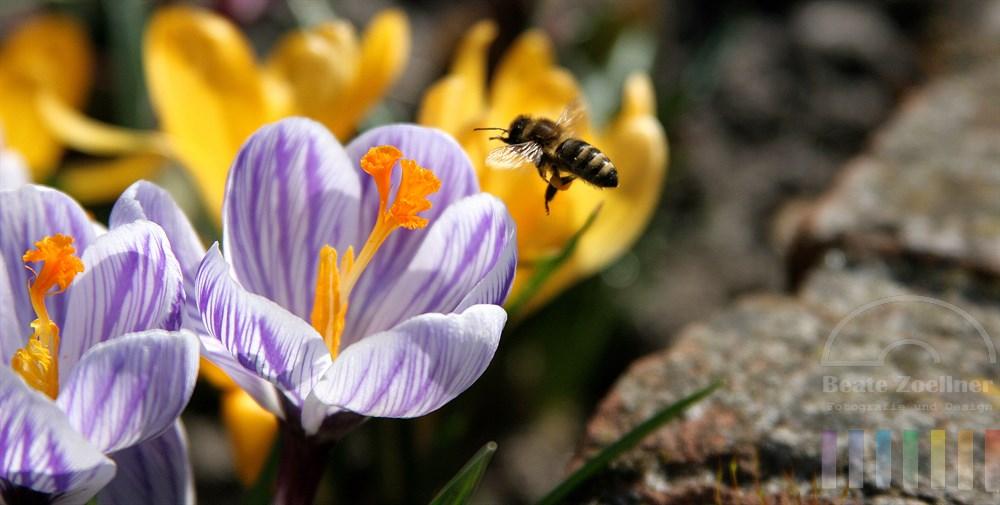 Biene (Bewegungsunschärfe) im Anflug ug lila-weiß-marmorierte Krokusblüte