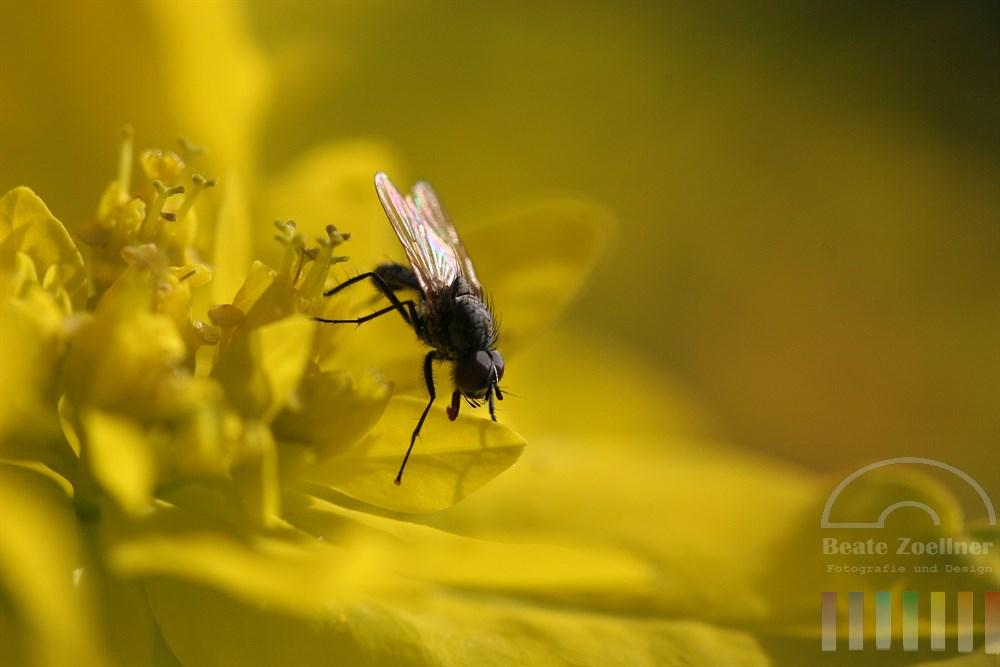 Makro, closeup: Fliege mit farbig schillernden Flügeln sitzt auf gelber Blüte (Wolfsmilchgewächs)