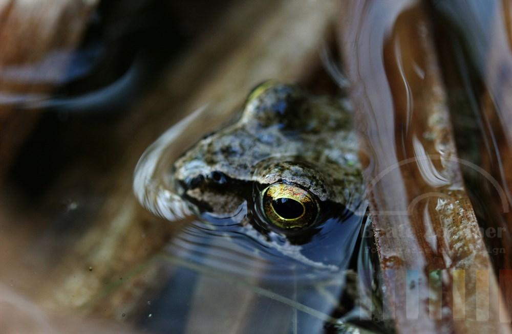 farblich gut getarnter Kopf eines Frosches knapp über der Wasseroberfläche eines Gartenteiches