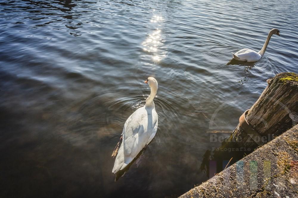 Schwanenpaar schimmt im Licht der Frühlingssonne auf dem Stadtsee in Mölln, Gegenlichti, Aufsicht