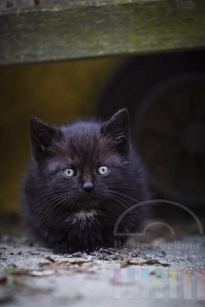 ca. 5 Wochen altes Katzenjunges auf einem Bauernhof, Kamerablick