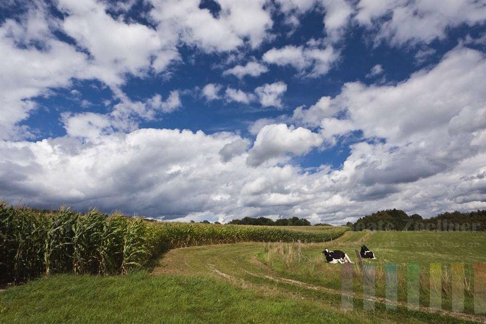 wiederkaeudende Rinder auf Weide neben erntereifen Maisfeld unter Wolkenhimmel im oberbergischen Land bei Geringhausen
