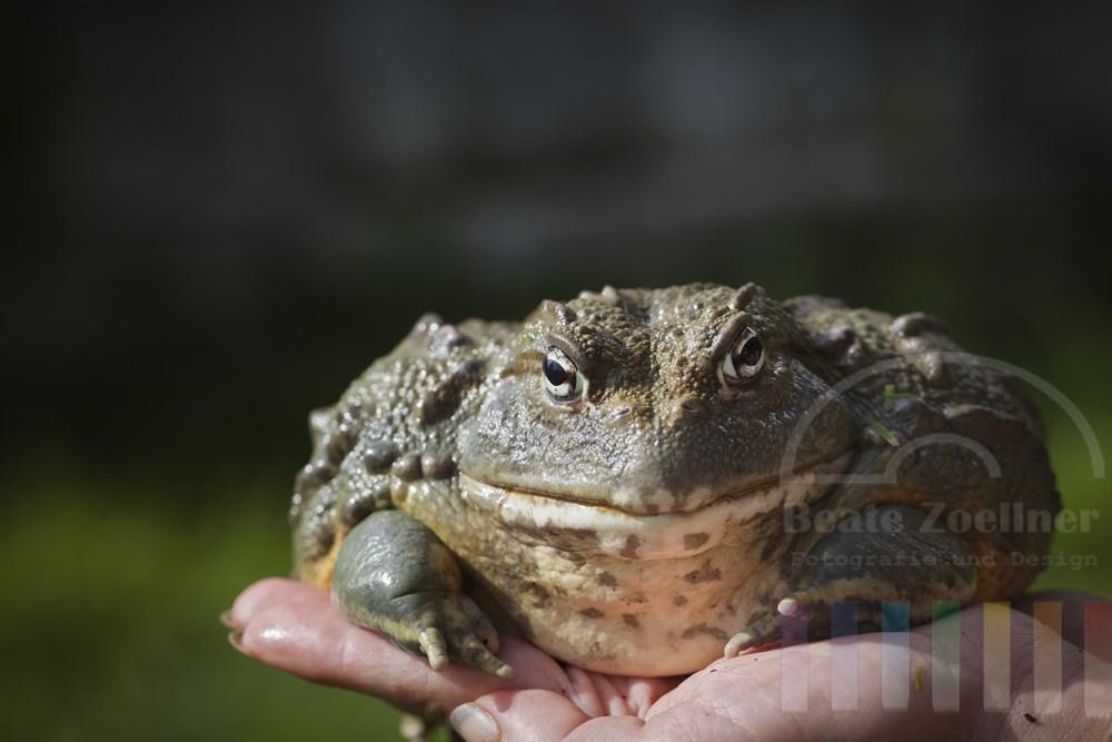 Afrikanischer Ochsenfrosch (Pyxicephalus  adsperus) mit einem stattlichen Gewicht von knapp 1,3 Kilogramm sitzt auf einer Frauenhand