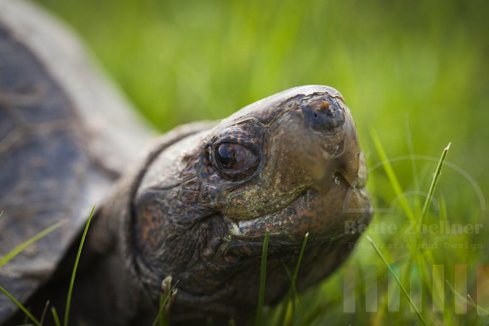 30 Jahre alte Riesenschildkröte  (Heosemy Grandis), close