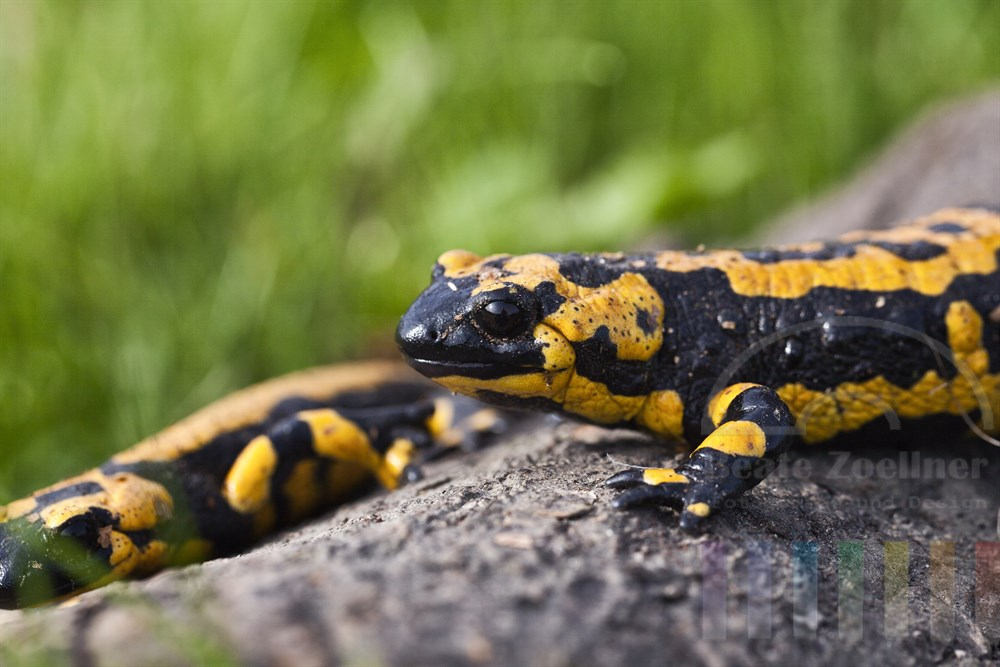 zwei Feuersalamander (Salamandra salamandra)